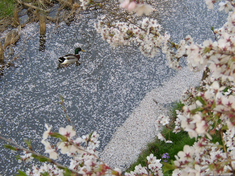 吾妻川の鴨の花見2
