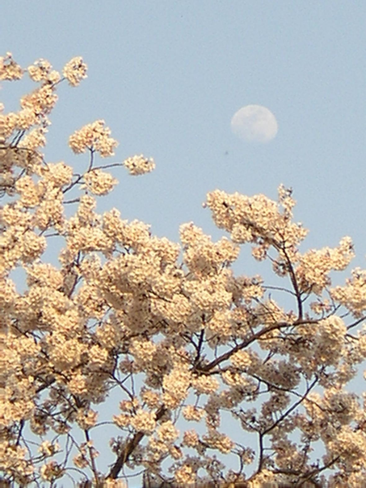 吾妻川昼の月の花見