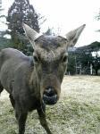 鹿公園の鹿(微違)