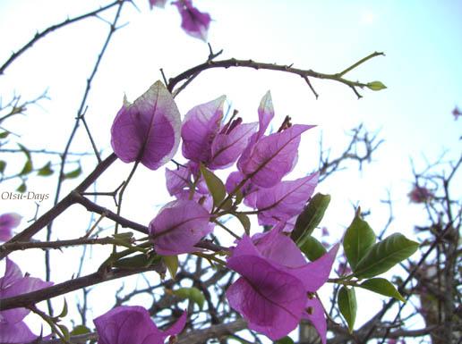 紫のいばら
