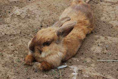ボスウサギ
