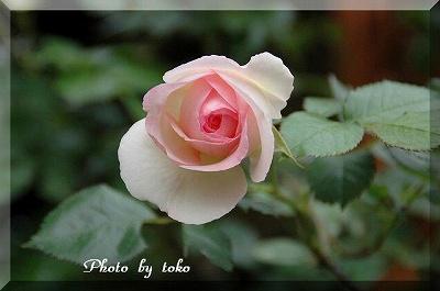 s-rose.jpg