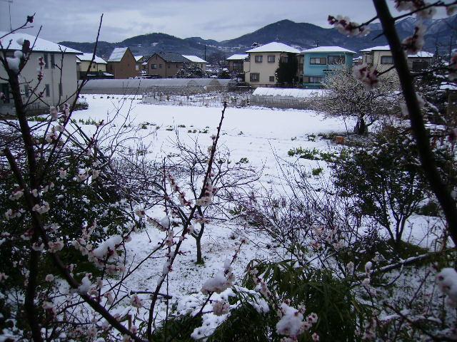我家の梅と雪01