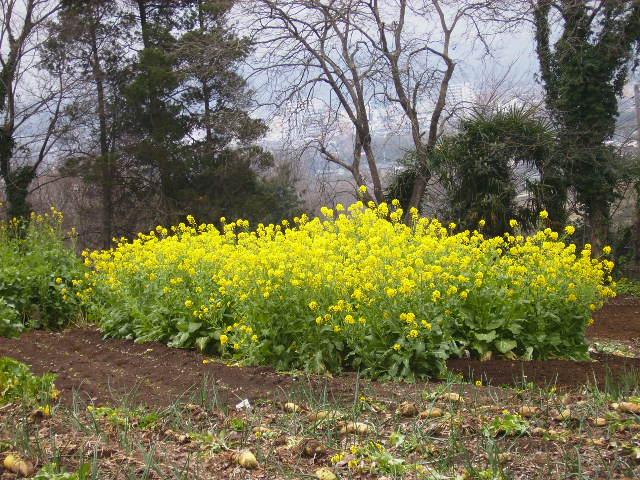 菜の花26