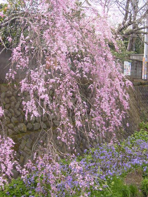 枝垂れ桜05