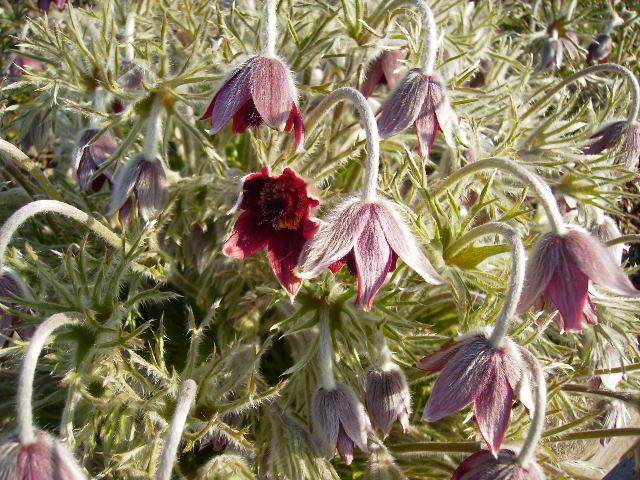 翁草の花125