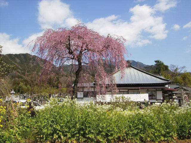 枝垂れ桜93