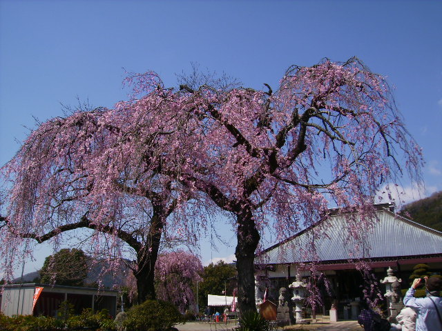 枝垂れ桜105