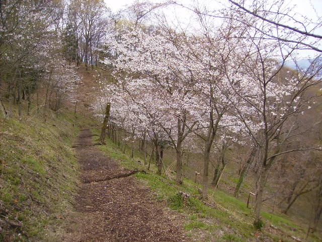 女坂の桜173
