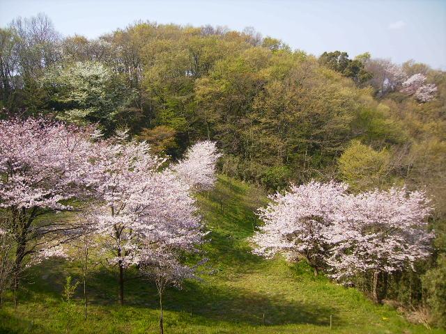 若葉と桜26