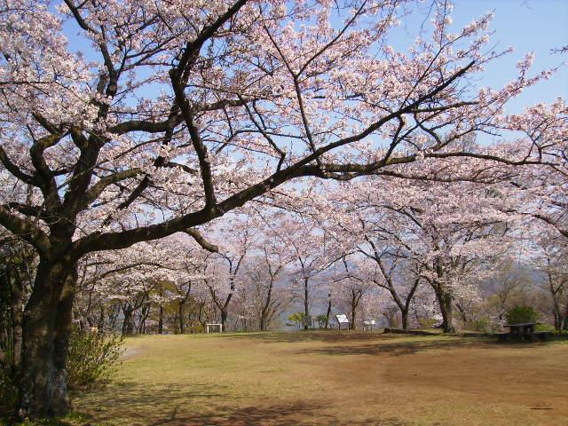 権現山の桜53