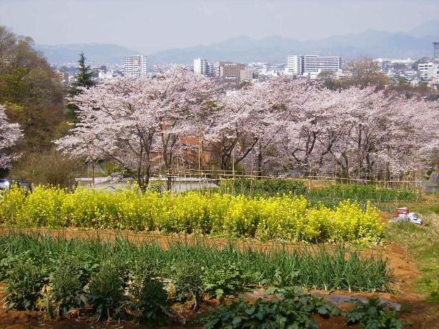 菜の花と桜107