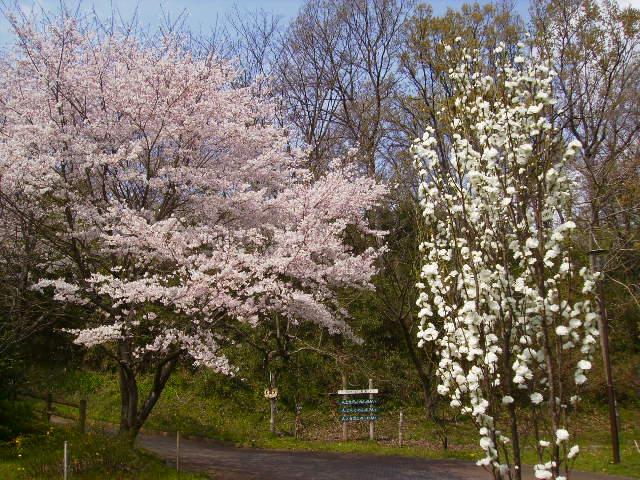 桜とはなもも171