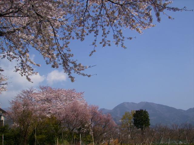 桜と三の塔26