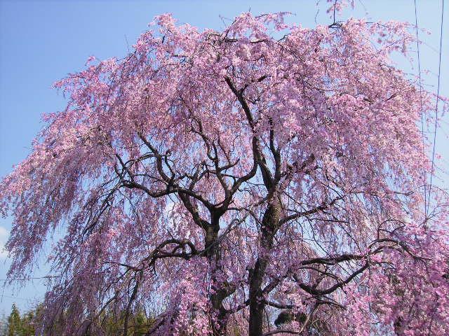 枝垂れ桜37