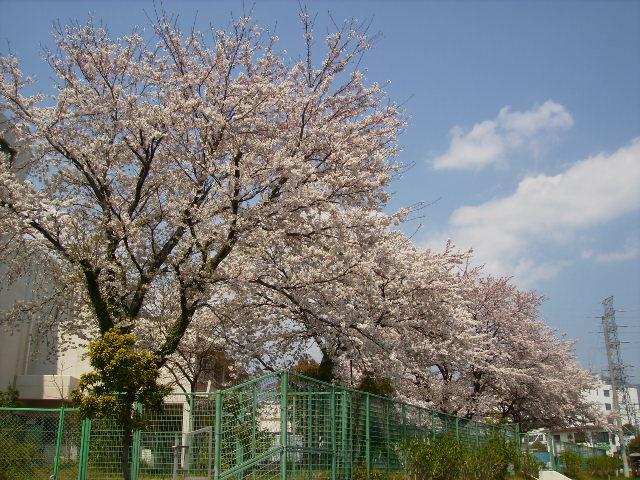 小学校の桜94