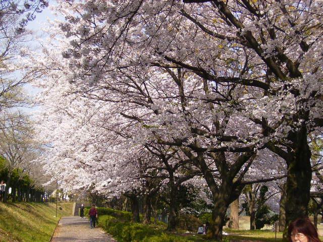 運動公園の桜66