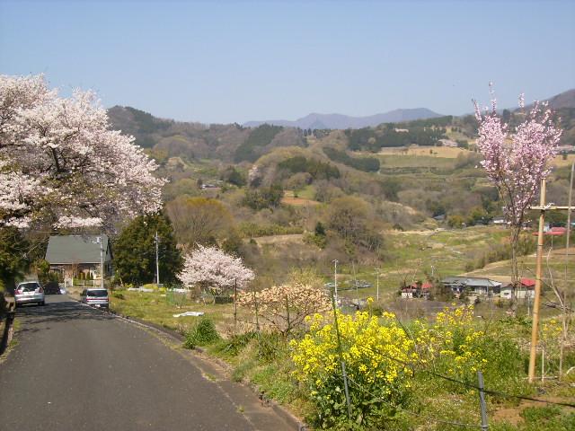 菜の花と桜95