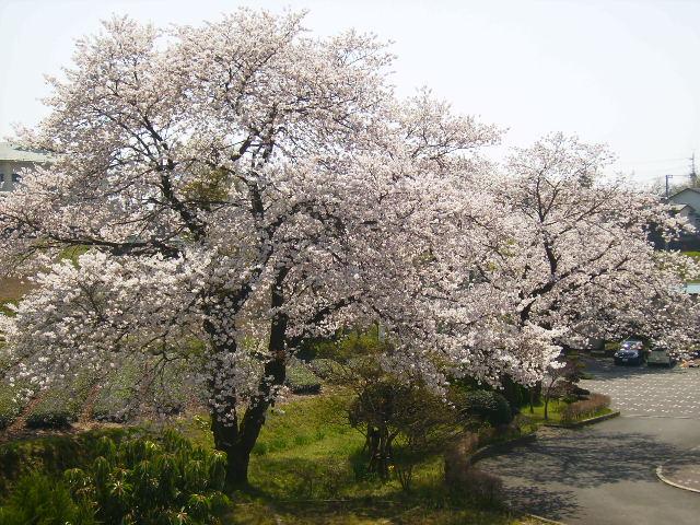 学校の桜133