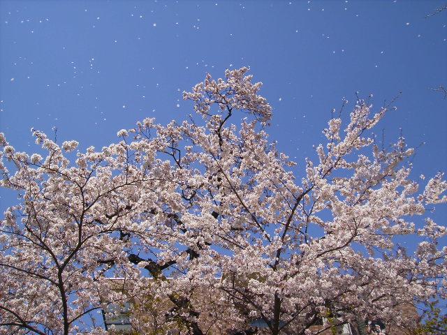 桜舞う211