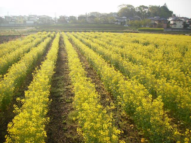 菜の花畑40