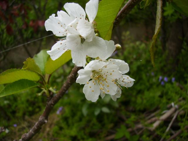 梨の花01