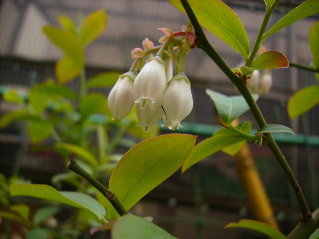 ブルーベリーの花06