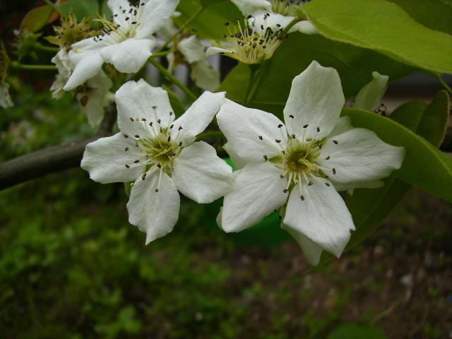 林檎の花10