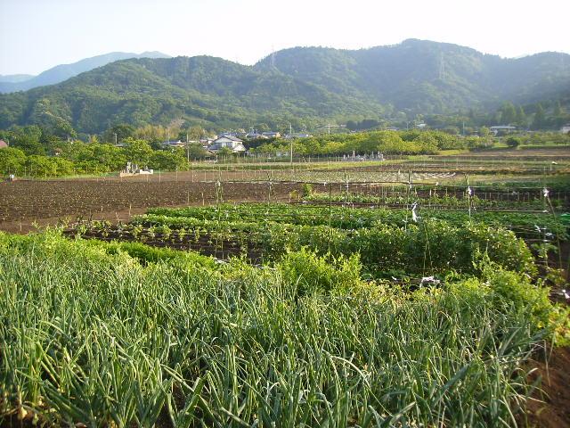 野菜畑04