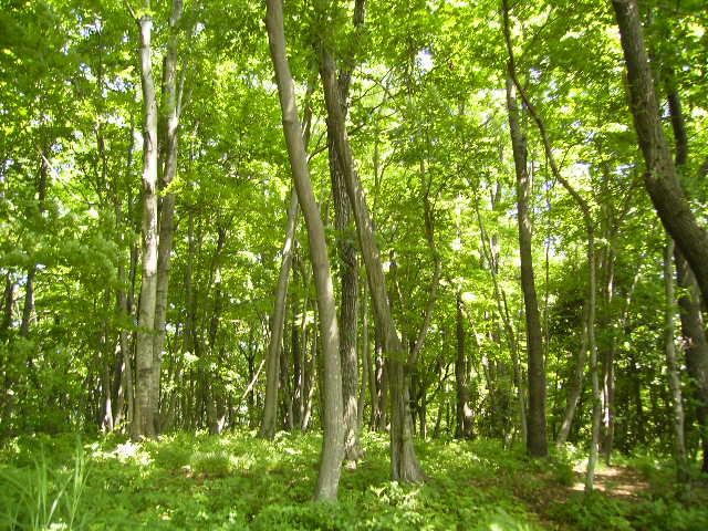 若葉の林84