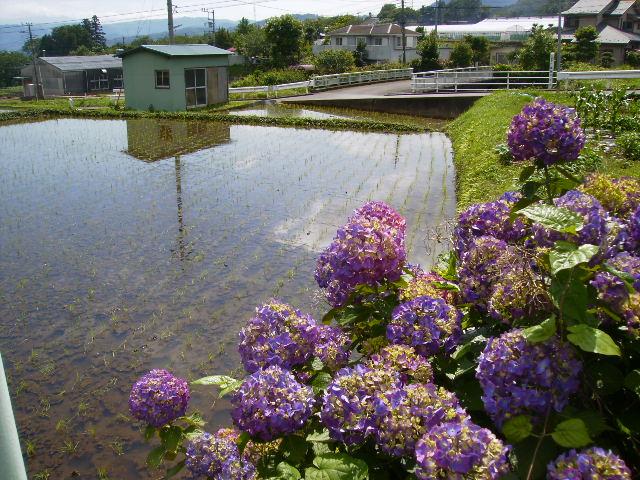 早苗と紫陽花42