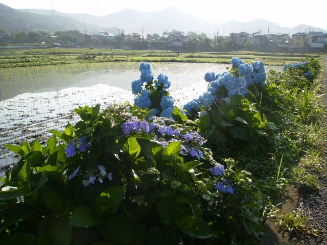 早苗と紫陽花30