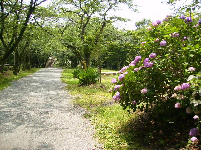 馬場道の紫陽花133