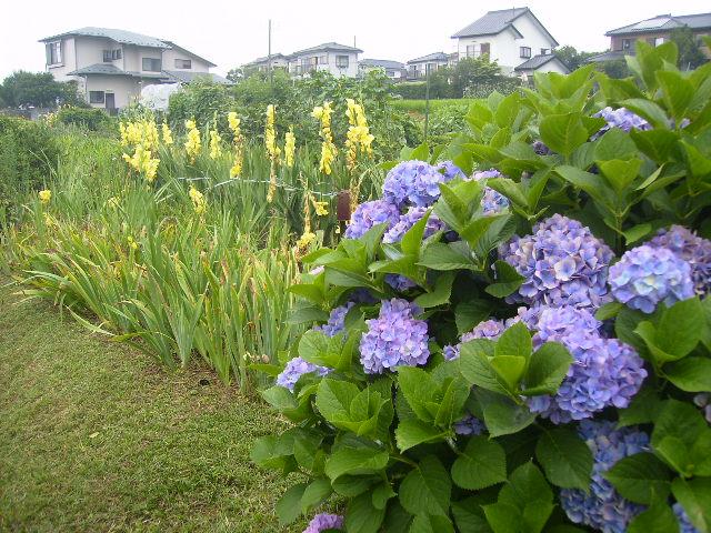 紫陽花09
