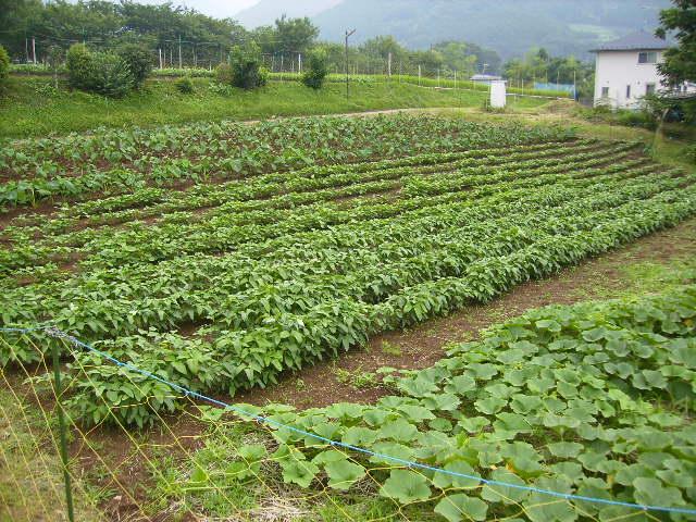 野菜畑38