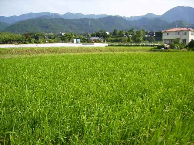 陸稲と丹沢004