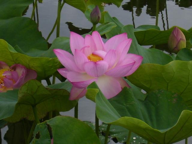 蓮の花56