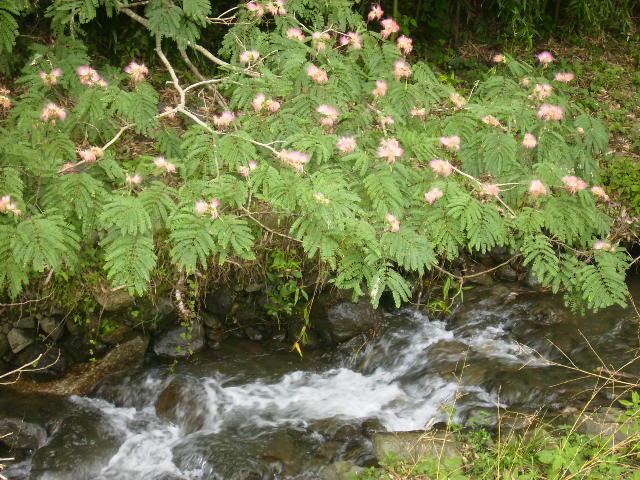 ねむの花44