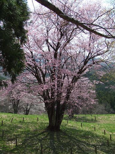 090501ooyamasakura.jpg