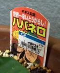 Habanero_shima_CIMG9050.jpg