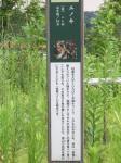 多摩よこやまの道・エノキ02