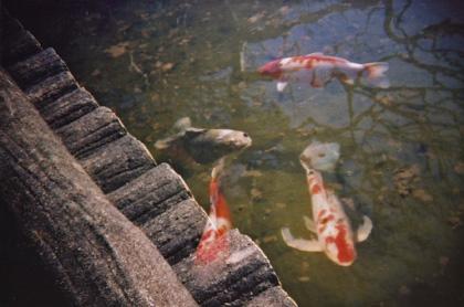 幽体離脱する鯉