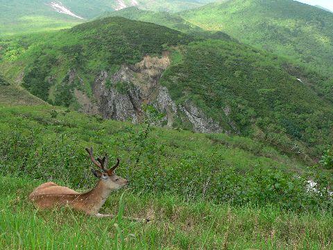 知床峠にいたエゾシカ