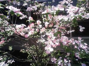 20090420会社の花1