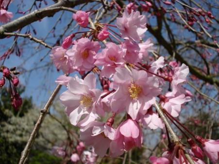 21.4.3静岡祭りの桜 04022