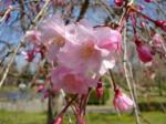 21.4.3静岡祭りの桜 04522
