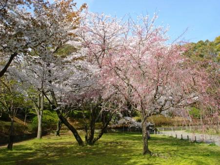 21.4.3静岡祭りの桜 05022