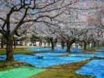 21.4.3静岡祭りの桜 06922