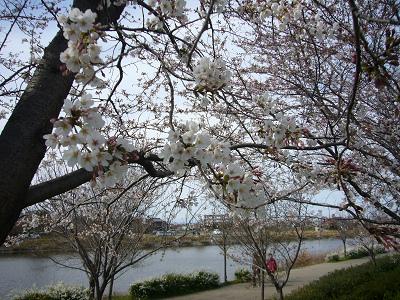 20090329桜