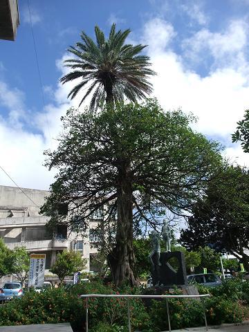 宜野湾市役所の合体木 1